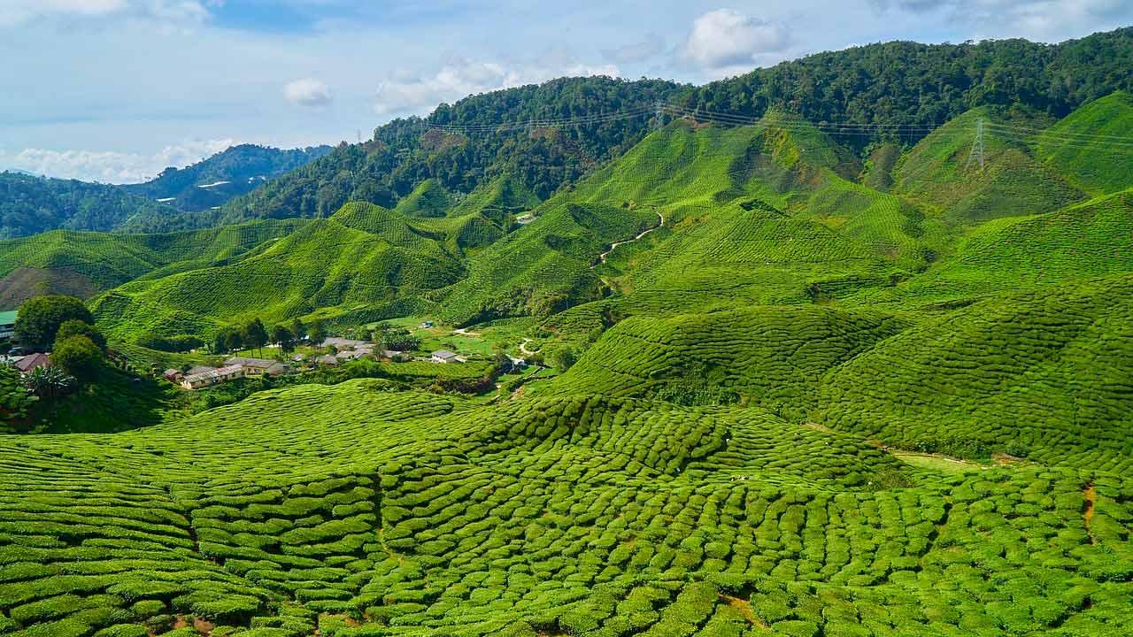 Viaggio in Malesia - cameron-highland
