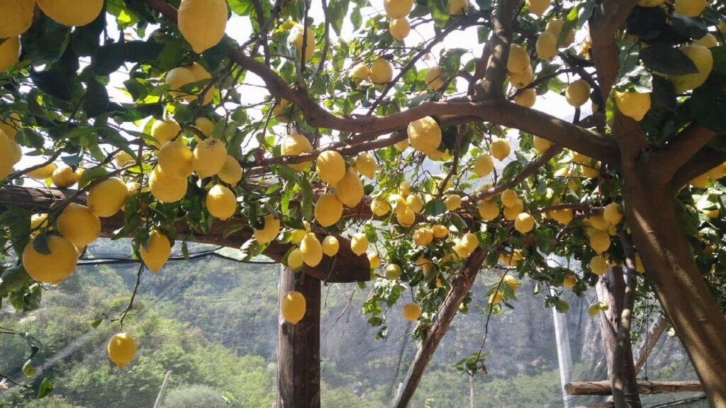 sentiero degli dei limoni